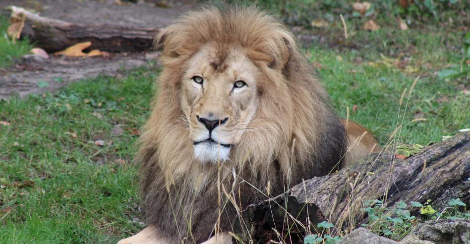 John Ball Zoo and Celebration Cinema Partner for Lion Conservation